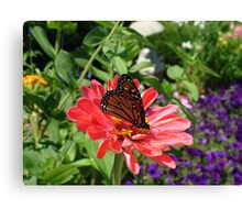 Conneticut Yankee Butterfly Canvas Print