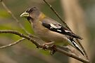 EVENING GROSBEAK ( female) by Sandy Stewart