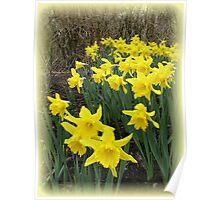 Easter Daffodils Vignette Poster
