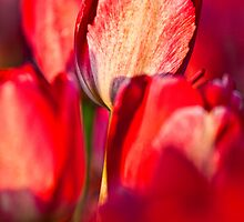 Red Tulips by Matt Koenig