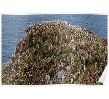 Gannet colony, Saltee Island, County Wexford coast, Ireland Poster