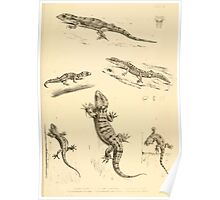 The Reptiles of British India by Albert C L G Gunther 1864 0503 Gecko Sinhonis, Subpalmatus etc Poster