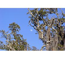 Old Oak Trees Photographic Print