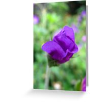 New petals of a budding purple flower Greeting Card