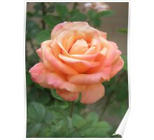 Pink Peach Rose Poster