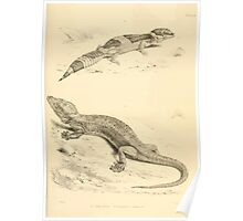 The Reptiles of British India by Albert C L G Gunther 1864 0501 Gecko Stentor, Eublepharis Hardwickii Poster