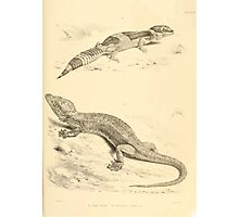 The Reptiles of British India by Albert C L G Gunther 1864 0501 Gecko Stentor, Eublepharis Hardwickii Photographic Print