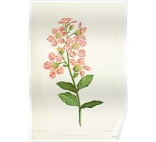 Familiar Flowers of India With Colored Plates, Lena Lowis 0017 Lagerstromi India Poster