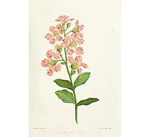 Familiar Flowers of India With Colored Plates, Lena Lowis 0017 Lagerstromi India Photographic Print