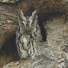 Screech Owl by gregsmith