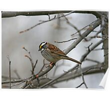 White-throated Sparrow Poster
