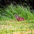 Bobcat by flyfish70