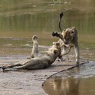 Young Lions Playing In Water by Michael  Moss