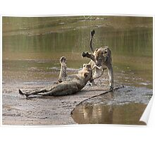 Young Lions Playing In Water Poster