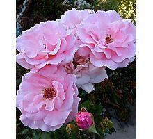 Pink Tea Roses, floral art, wall decor Photographic Print