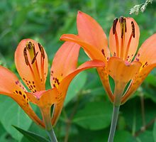 Wood Lilies - Wildflowers of Alberta by Roxanne Persson