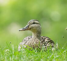 Sitting Duck by EugeJ
