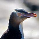 Yellow eyed penguin by Duncan Macfarlane