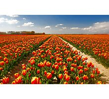 A few more tulips...... Photographic Print