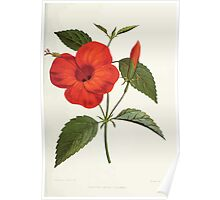 Familiar Flowers of India With Colored Plates, Lena Lowis 0045 Hibiscus Rosa Linensis Poster