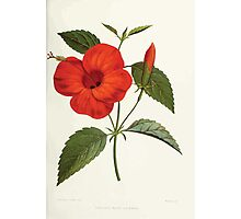 Familiar Flowers of India With Colored Plates, Lena Lowis 0045 Hibiscus Rosa Linensis Photographic Print