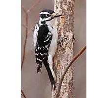 Downey Woodpecker (female) Photographic Print