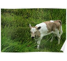 Brown Calf in a Pasture Poster