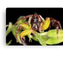 Green Jumping Spider - Male Canvas Print