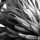 Abstract Petals (Mum) - B&W by flowers2love