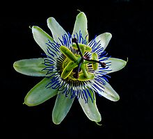 Passion Fruit Flower by Tom Newman