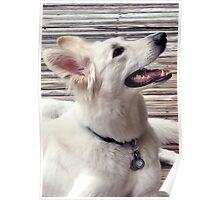 Side View White German Shepherd Dog Poster