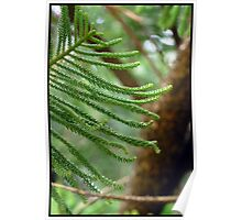 Norfolk Island Pine - 7 Mile Beach, Forster NSW Poster