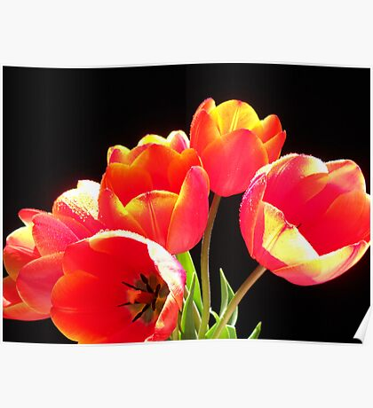 Spring Tulips. Poster