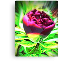 Bold Beauty of the Rose Canvas Print