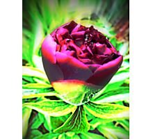 Bold Beauty of the Rose Photographic Print
