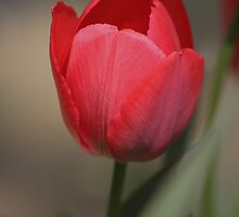 Tulip by Jcook