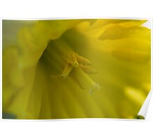 Soft Yellow Daffodil Poster