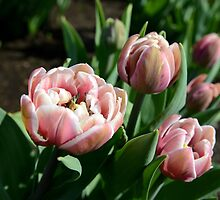Tulips by anstey