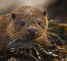 Wild Otter portrait by wildlifephoto
