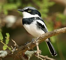 Male Chinspot Batis by jozi1