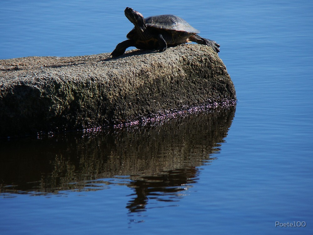Snapping turtle resting on a rock... by Poete100
