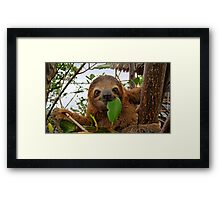 Baby Brown throated Three toed sloth Framed Print