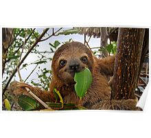 Baby Brown throated Three toed sloth Poster