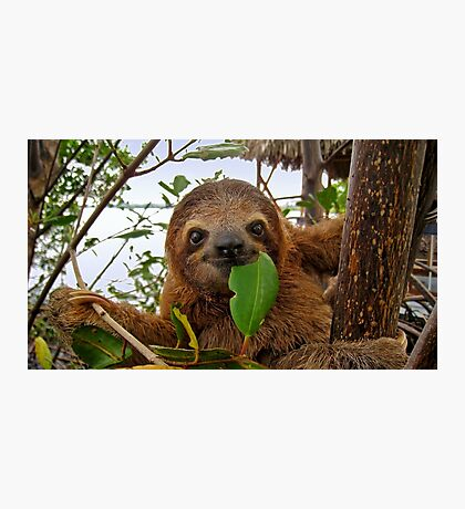 Baby Brown throated Three toed sloth Photographic Print
