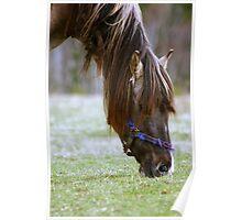 Horse Munching Spring grass. Poster
