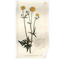 The Botanical magazine, or, Flower garden displayed by William Curtis V5 v6 1792 1793 0149 Ranunculus Acris Flore Pleno, Double Upright Crowfoot Poster