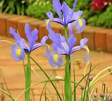 Iris Along the Walk by Rodney Williams