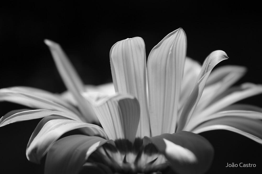 B&W flower 7989 by João Castro