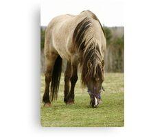Horse In a Hastings Nova Scotia field. Canvas Print