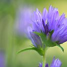 Bellflowers by OldaSimek